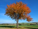 Vogel-Kirsche im Herbst, Fotograf: A. Roloff